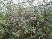 オーストラリアンミントブッシュ(バラ温室)