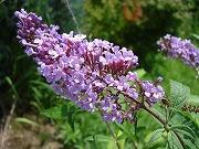 紫花 ブッドレア