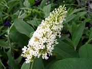 白花 ブッドレア