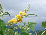 黄花 ブッドレア