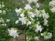 ソープワート(白花)