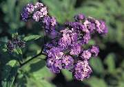 紫花ヘリオトロープ