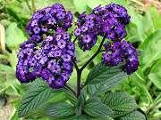 濃紫花ヘリオトロープ