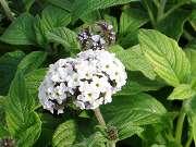 白花ヘリオトロープ